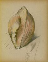Study of a shell, 1930's
