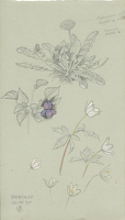Flower Studies, Bewdley, 20.IV.1897